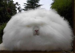 The Strangest Animals In The World Angora rabbit