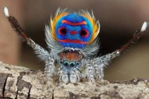 Spider Peacock